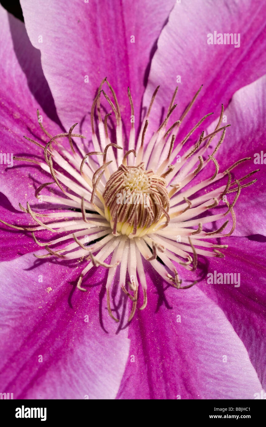 Clematis flower blooming on the vine - Stock Image