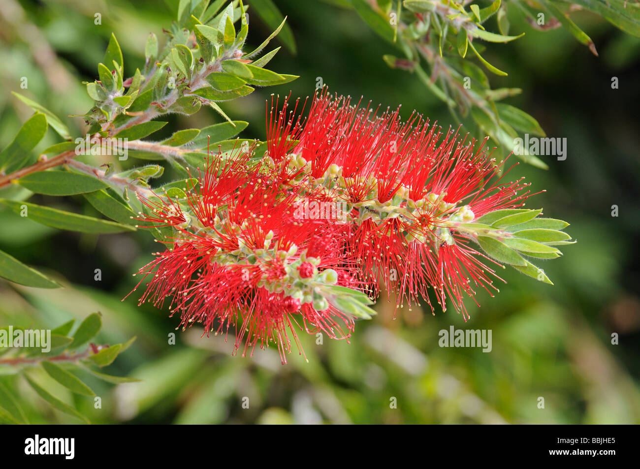 Banksia blossoms - Stock Image
