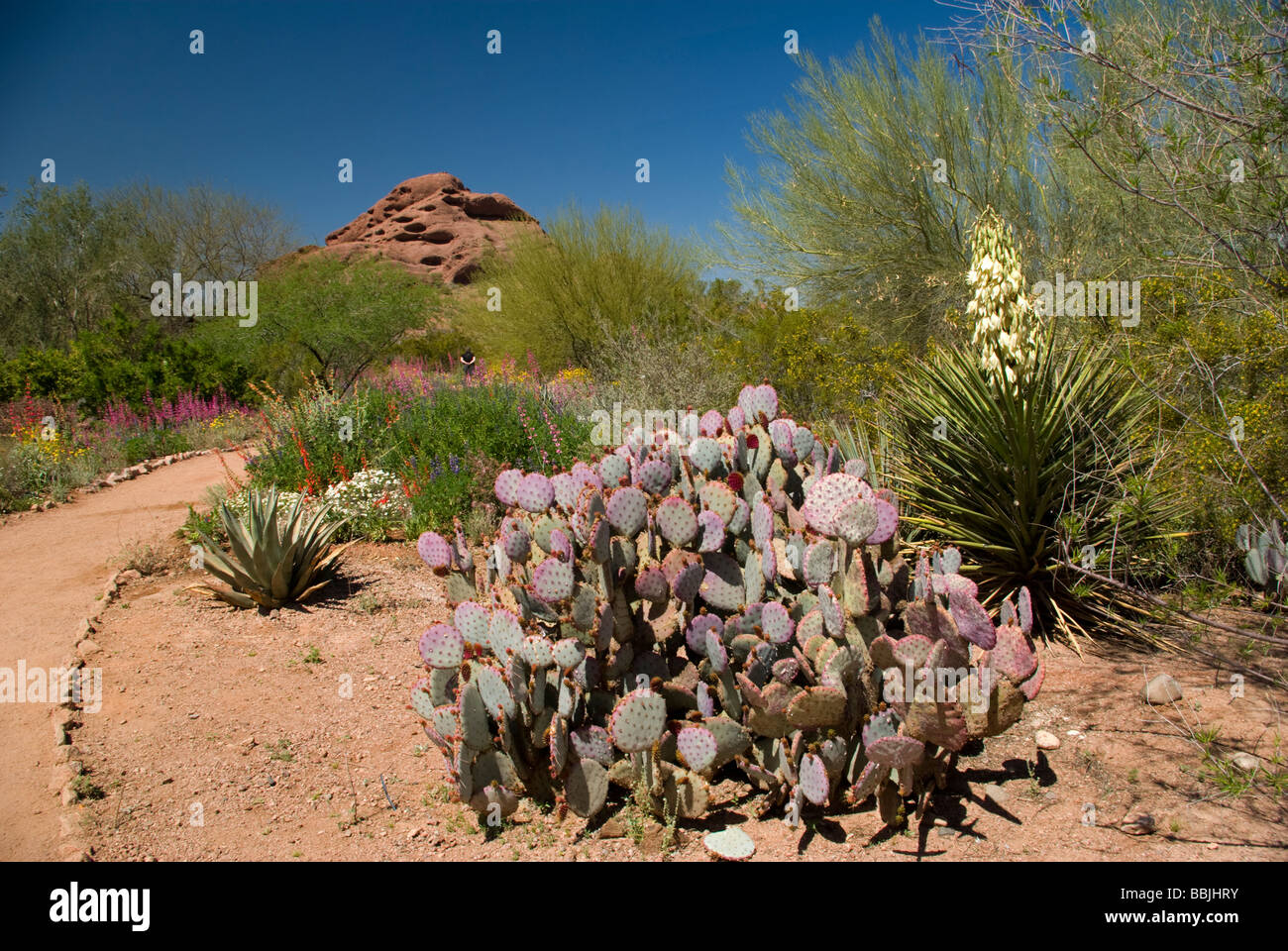 USA Arizona Phoenix Desert Botanical Gardens Papago Park desert ...