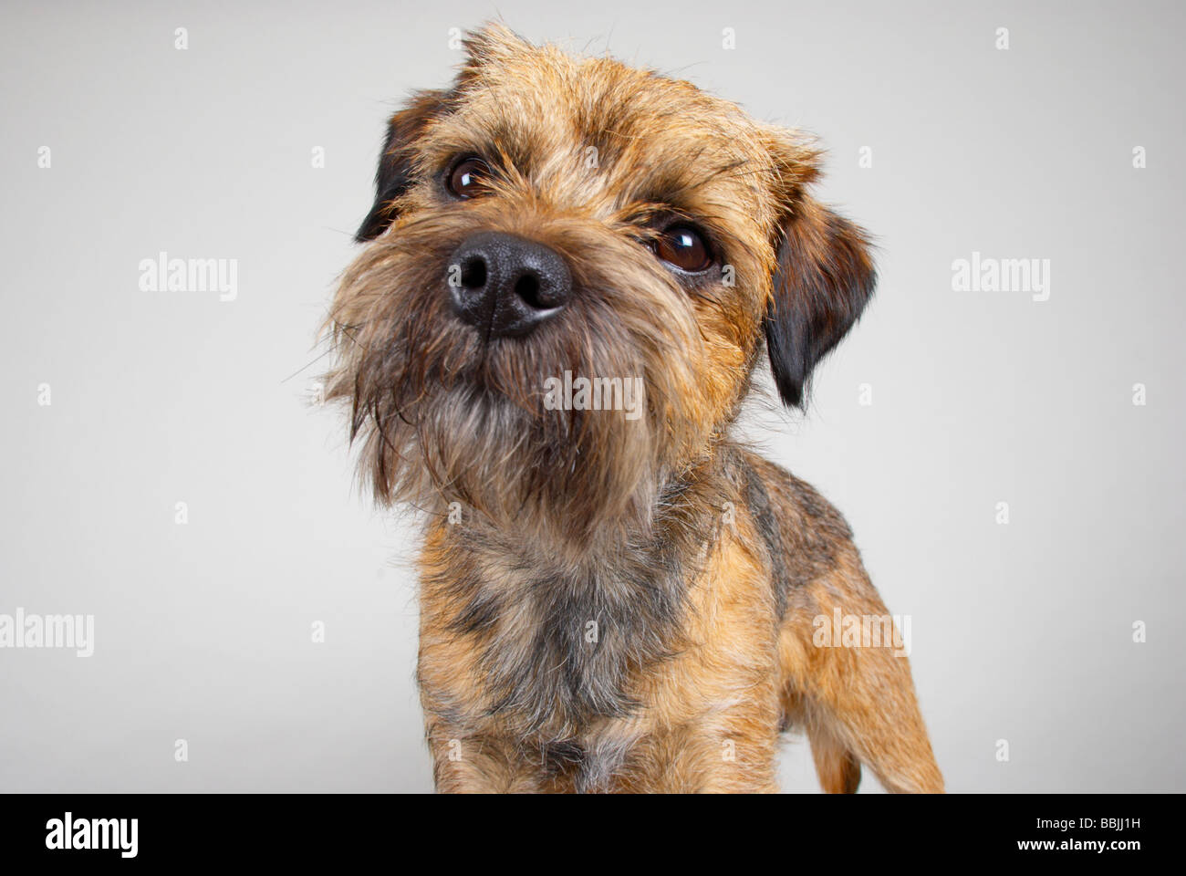 Wiry Terrier Stock Photos Wiry Terrier Stock Images Page 3 Alamy