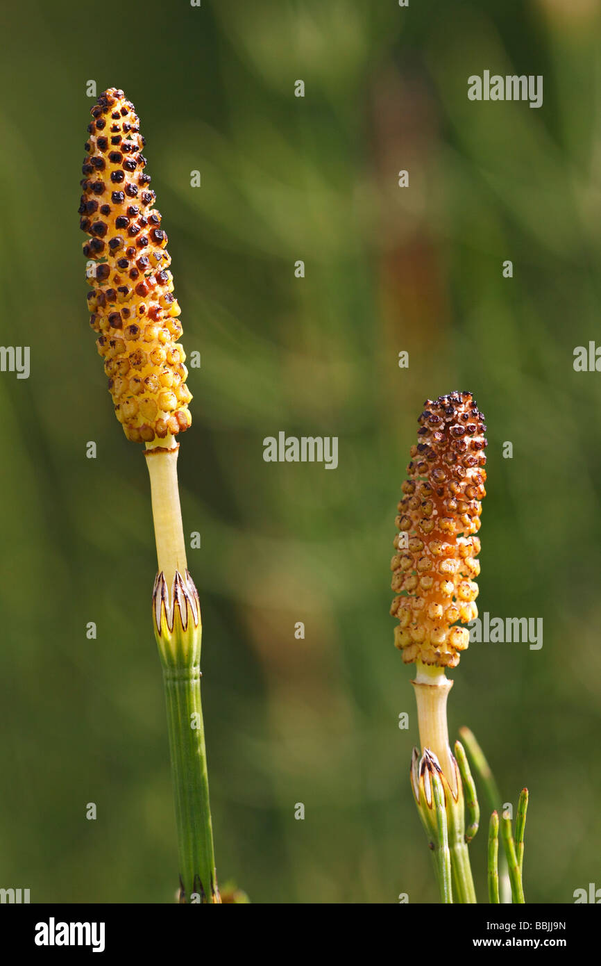 Equisetum or Common Horsetail, Field Horsetail (Equisetum arvense), spores, medicinal plant, Stock Photo