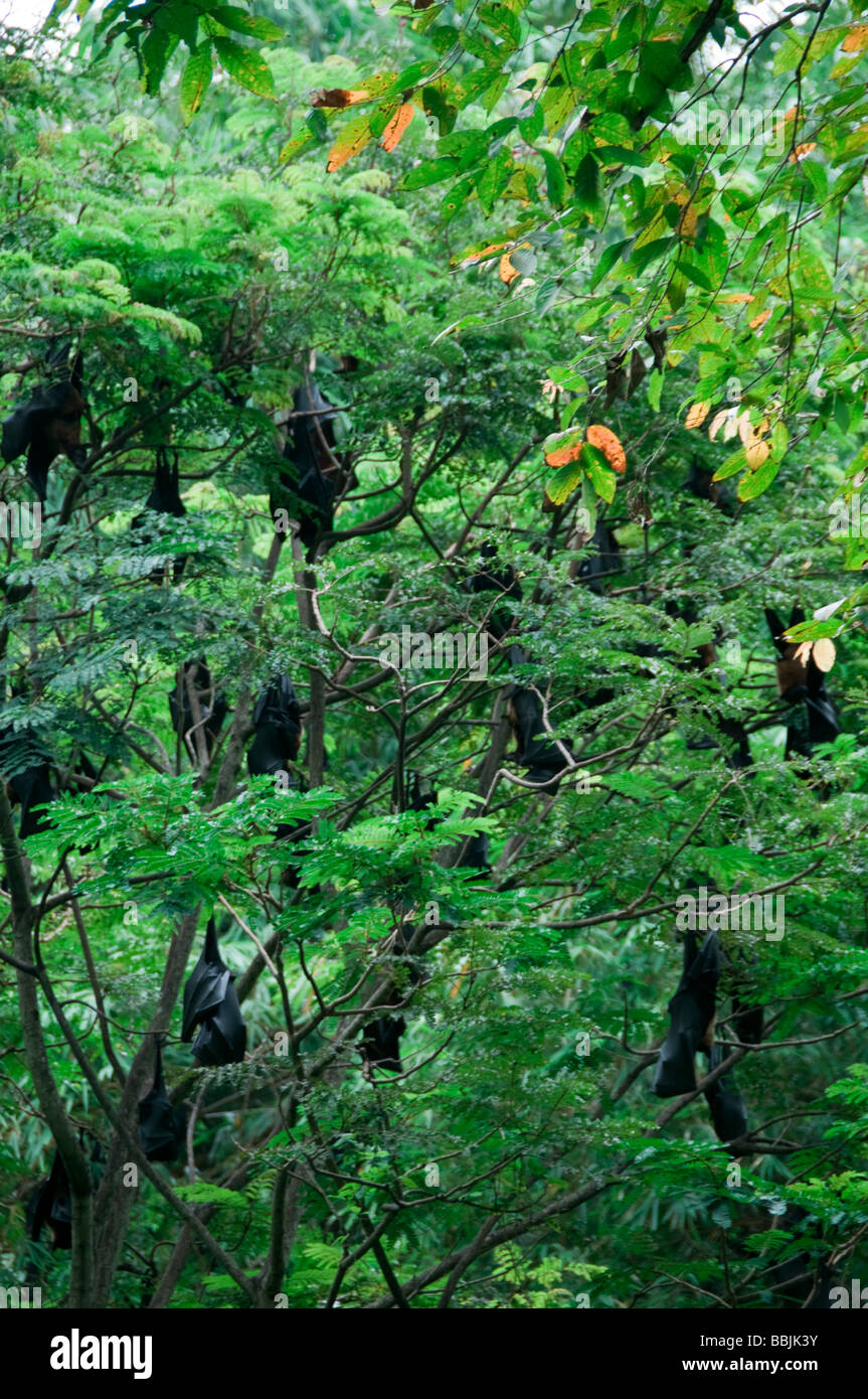 Large Fox fruit bats roosting in the daytime at the tops of trees, kerala  India Stock Photo
