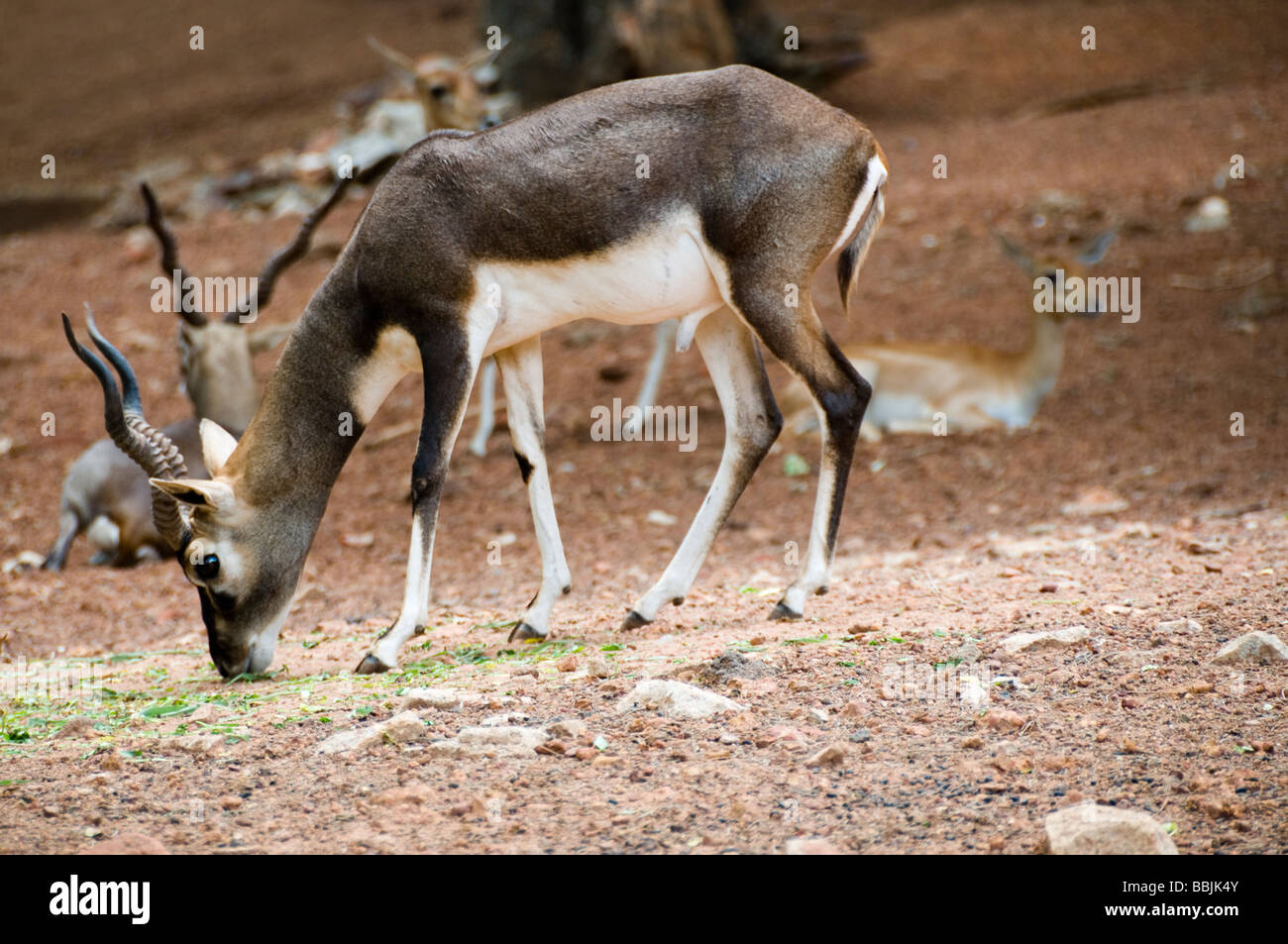 A Male Black Buck, Antelope cervicapra in sanctuary, Gujrat, India. - Stock Image
