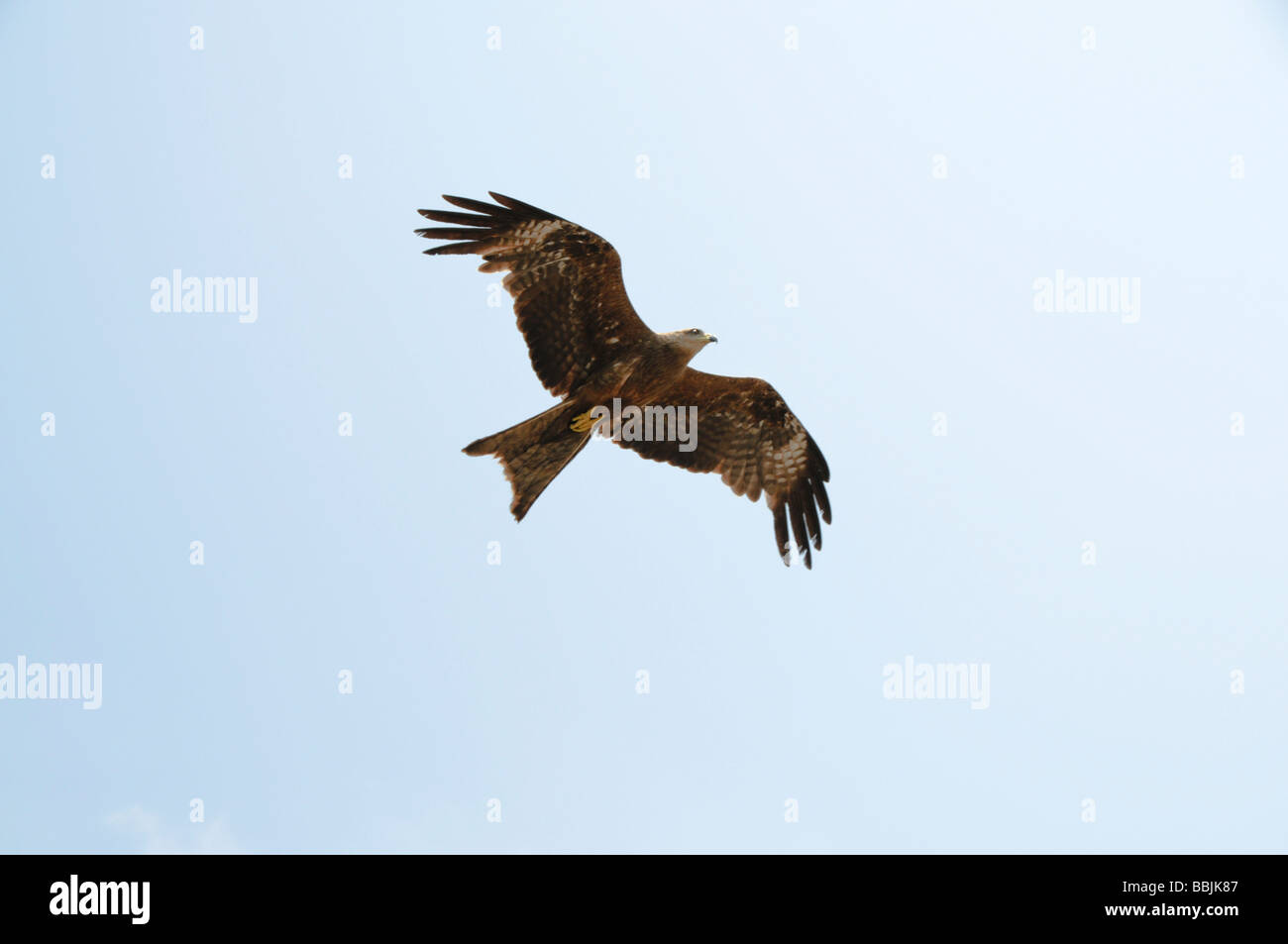 Crested Serpent Eagle (Spilornis cheela or Kanmuri-washi) flying in Ranthambhore tiger reserve in India. - Stock Image