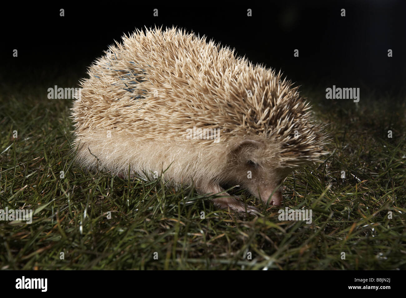 Blonde hedgehog Erinaceus europaeus not a true albino Alderney Channel Islands UK - Stock Image