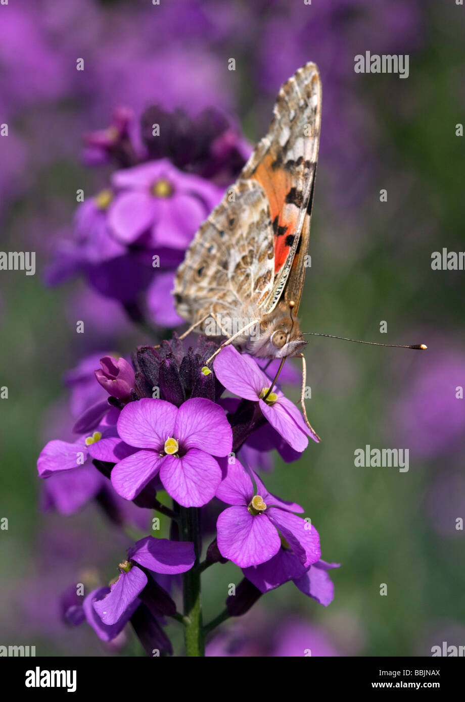 Painted Lady Butterfly (vanessa cardui) on Erysimum Flower - Stock Image