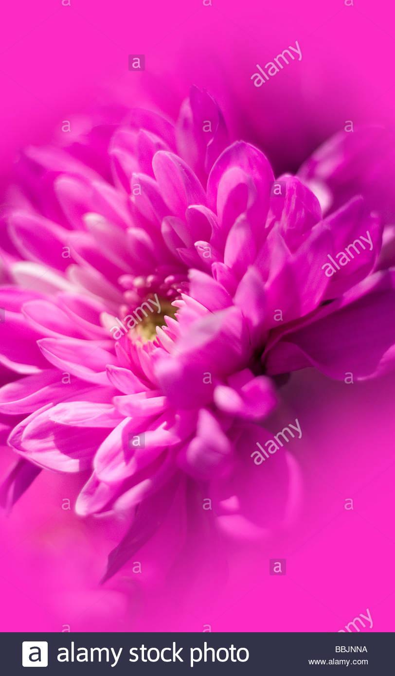 macro pink flower - Stock Image