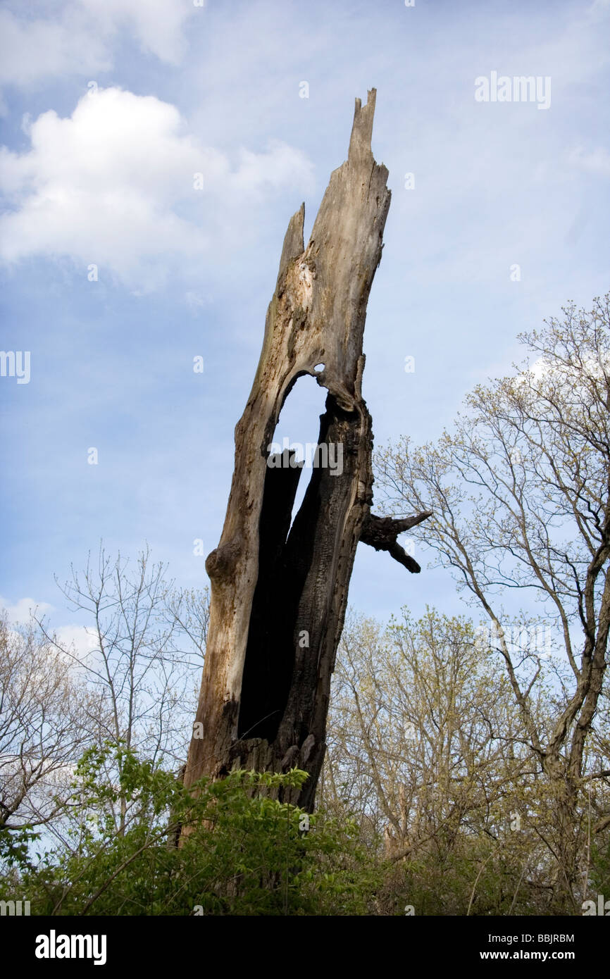 Burned tree from lightening with hole in the midle. Danada Forest preserve - Stock Image