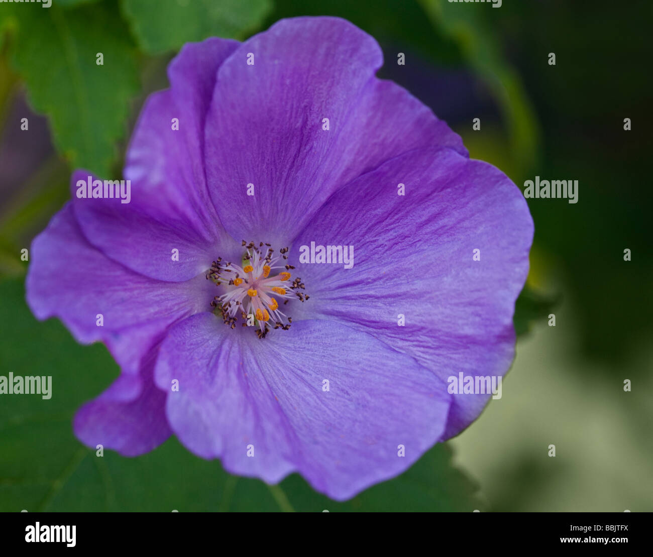 Purple Abutilon Suntense Jermyns Flowering Maple Stock Photo