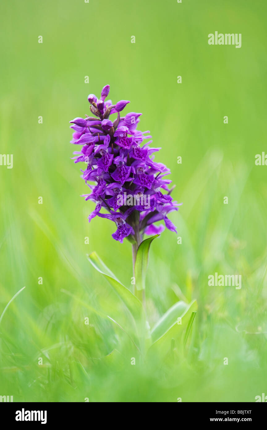 Dactylorhiza purpurella, Northern Marsh orchid - Stock Image
