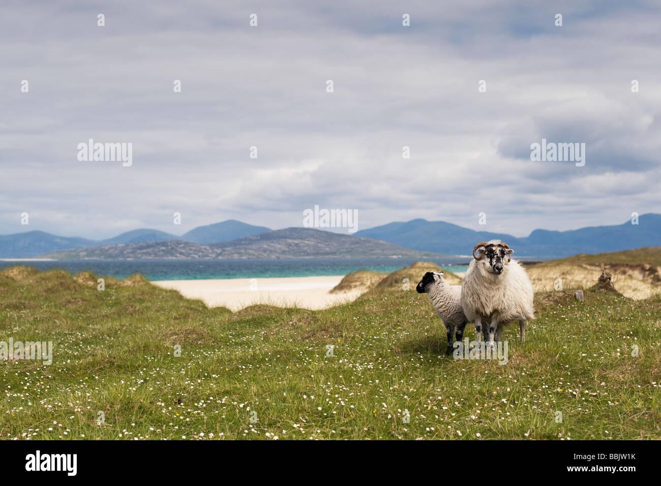 Sheep on machair, Traigh Scarista beach, Isle of Harris, Outer Hebrides, Scotland - Stock Image