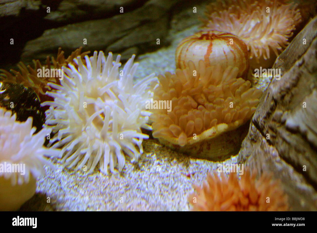 Sea Anemones, Actiniaria Stock Photo
