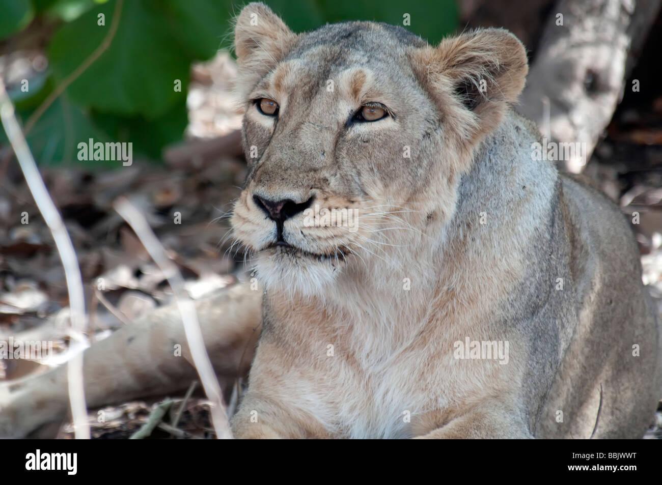 Lioness Sasan Gir India - Stock Image