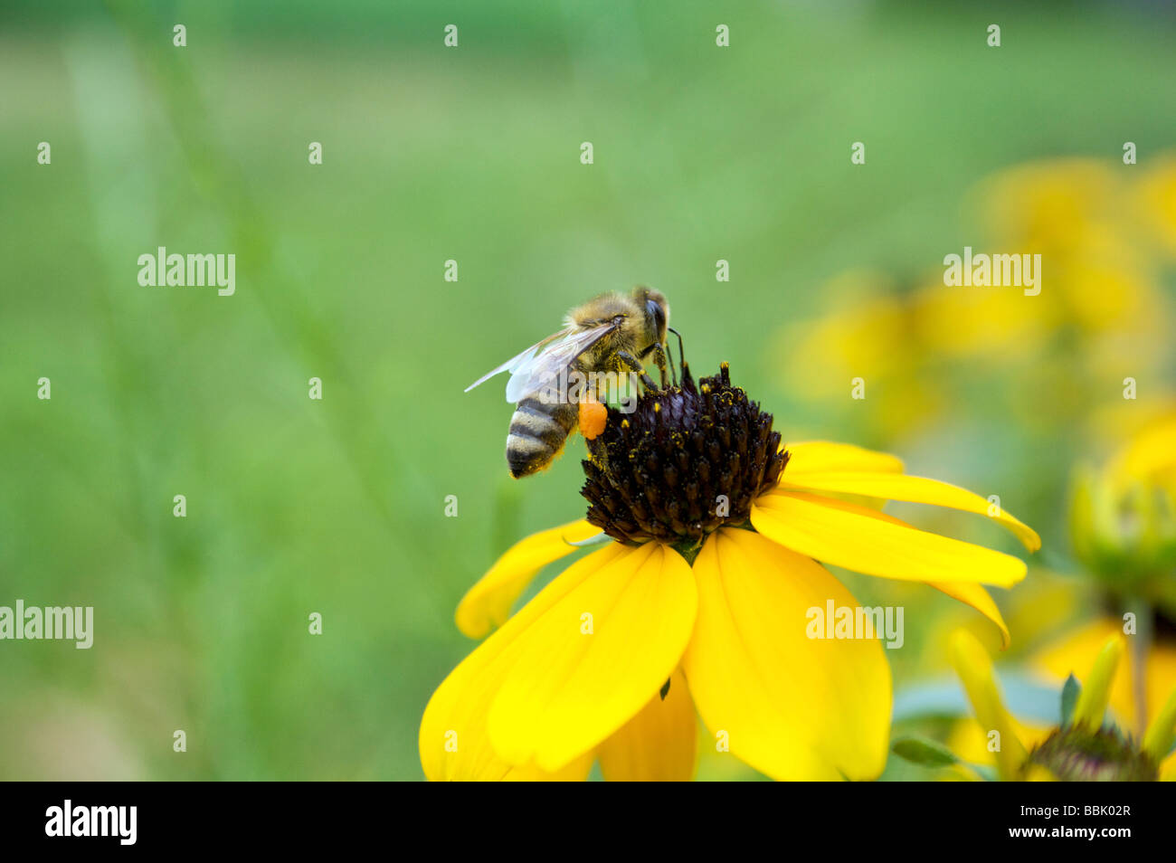 Honeybee Apis mellifera landing on a flower on a summer afternoon. bee, flower, green, nature, insects, landing, - Stock Image