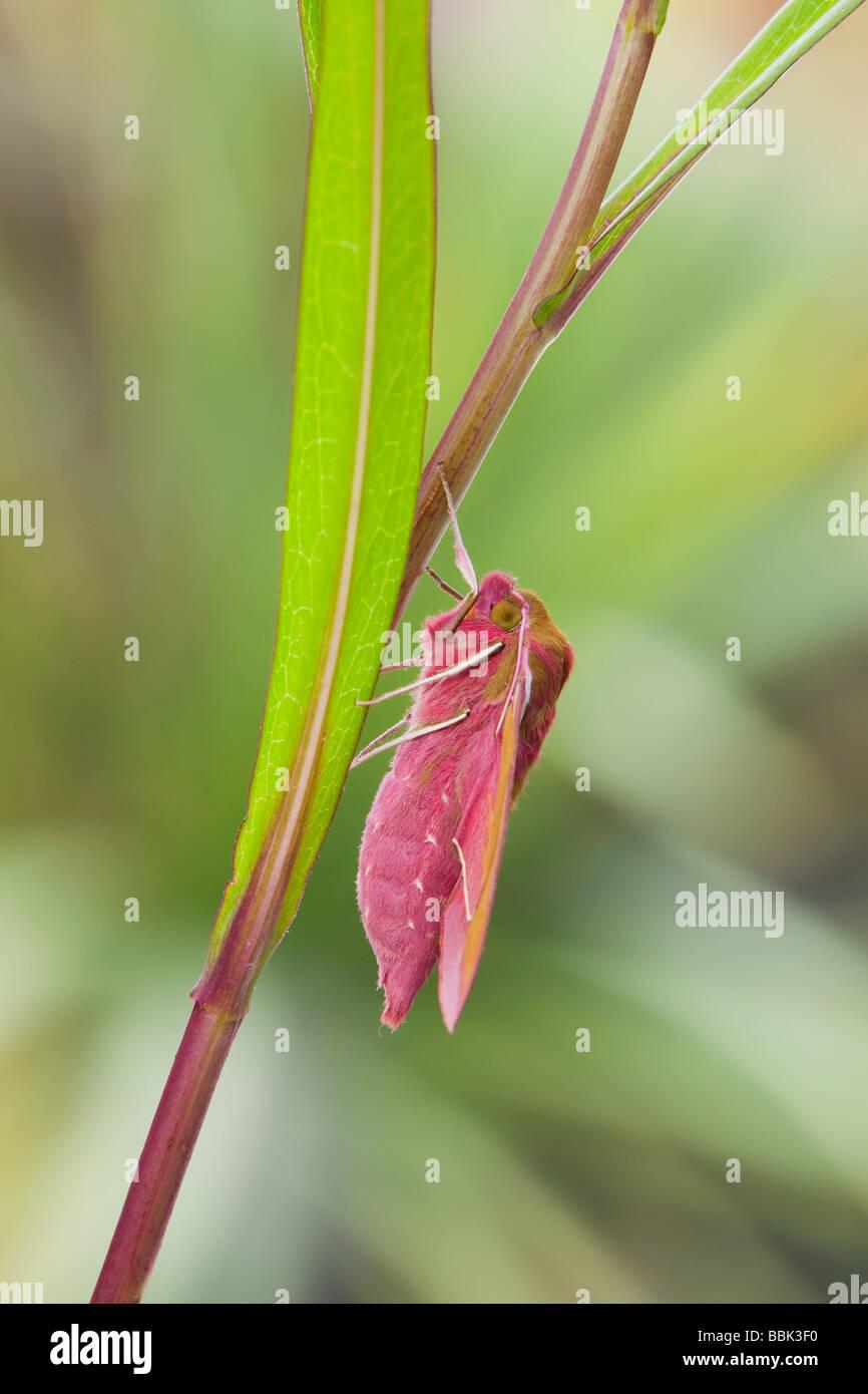 Elephant Hawk Moth (Deilephila elpenor) - Stock Image