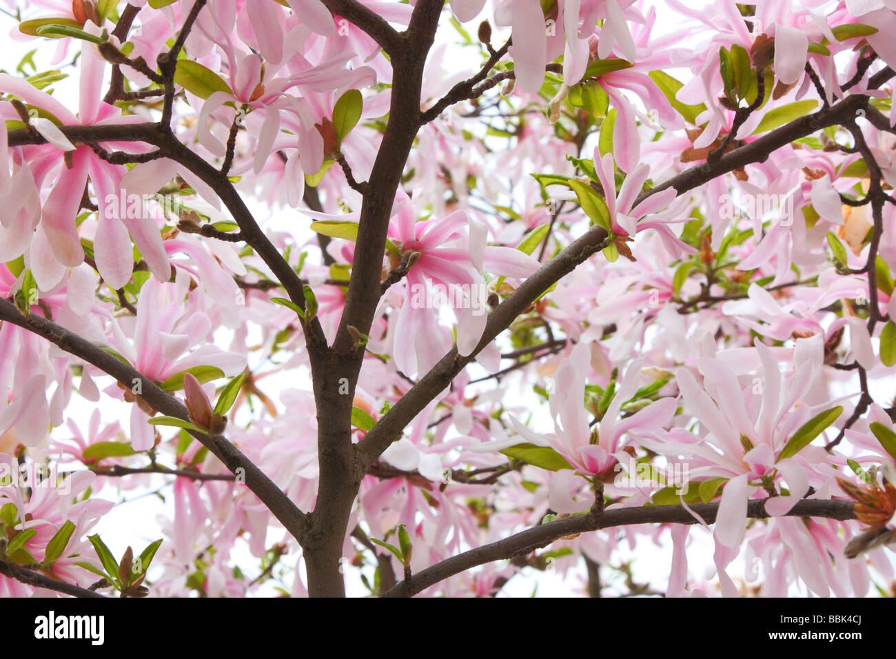 Pink Magnolia Flowers Close Up Magnolia Loebneri Leonard Messel