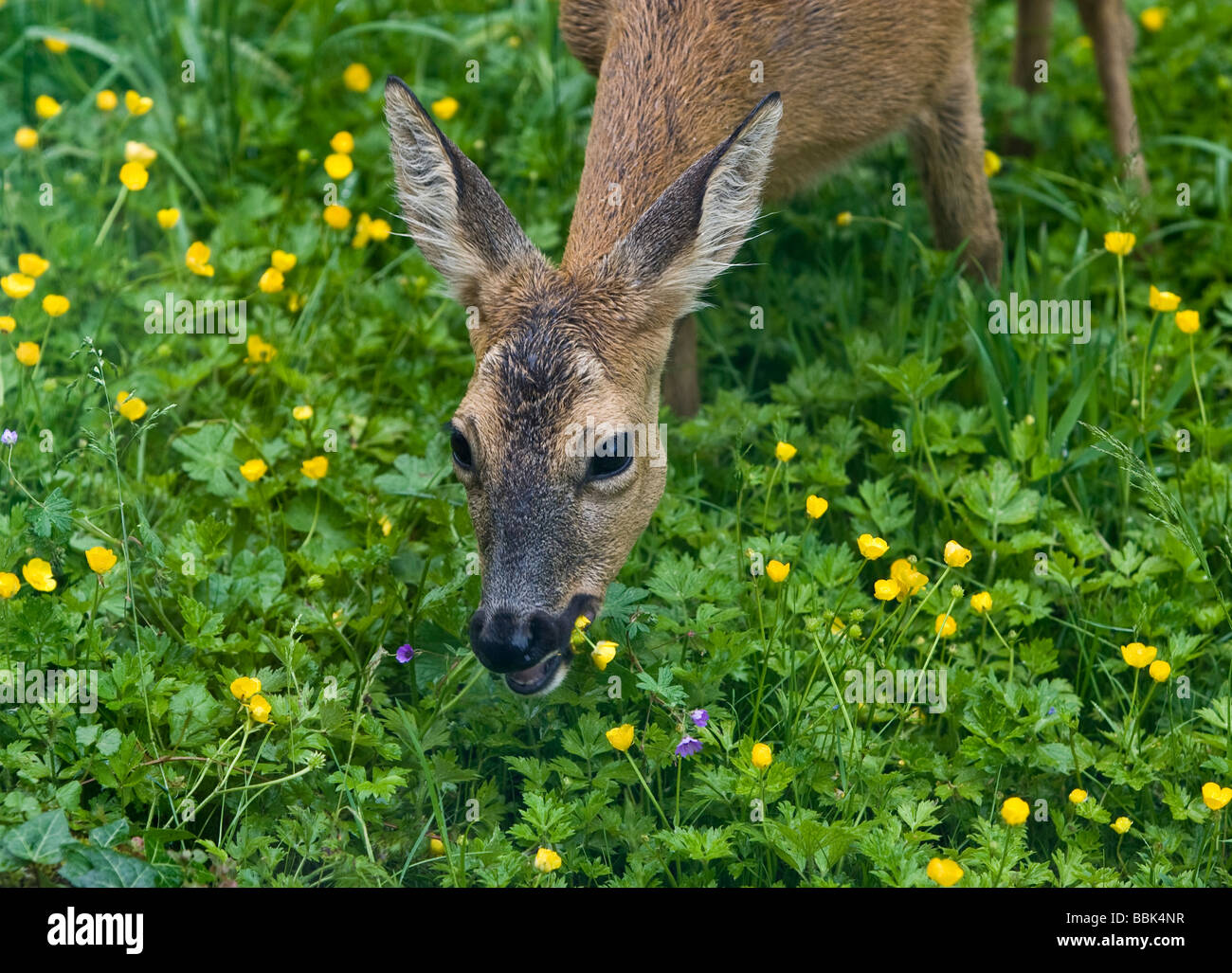 how to stop deer from eating flowers