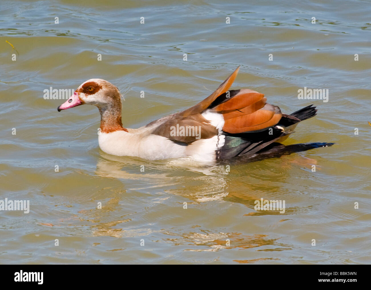 The Egyptian Goose (Alopochen aegyptiacus) is a member of the duck, goose and swan family Anatidae. - Stock Image