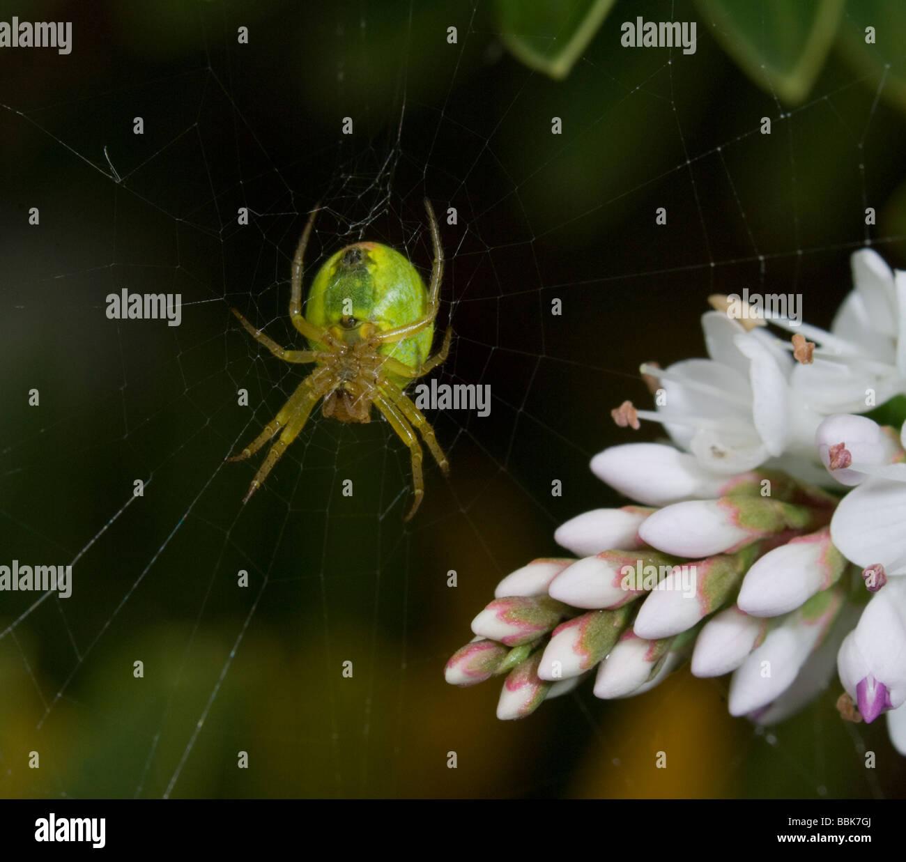 Cucumber green spider (Araniella cucurbitina), UK - Stock Image