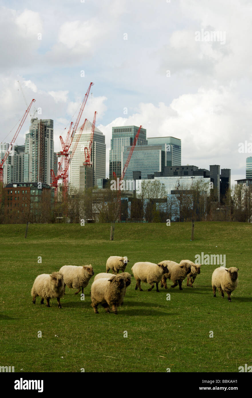 A group of sheep with financial centre Canary Wharf in the background - Stock Image
