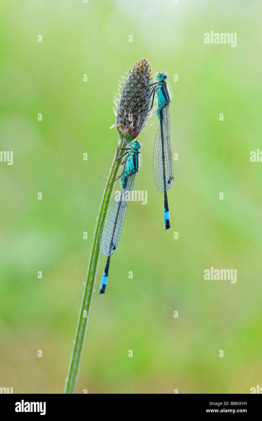 Blue-tailed Damselfly (Ischnura elegans) - Stock Image