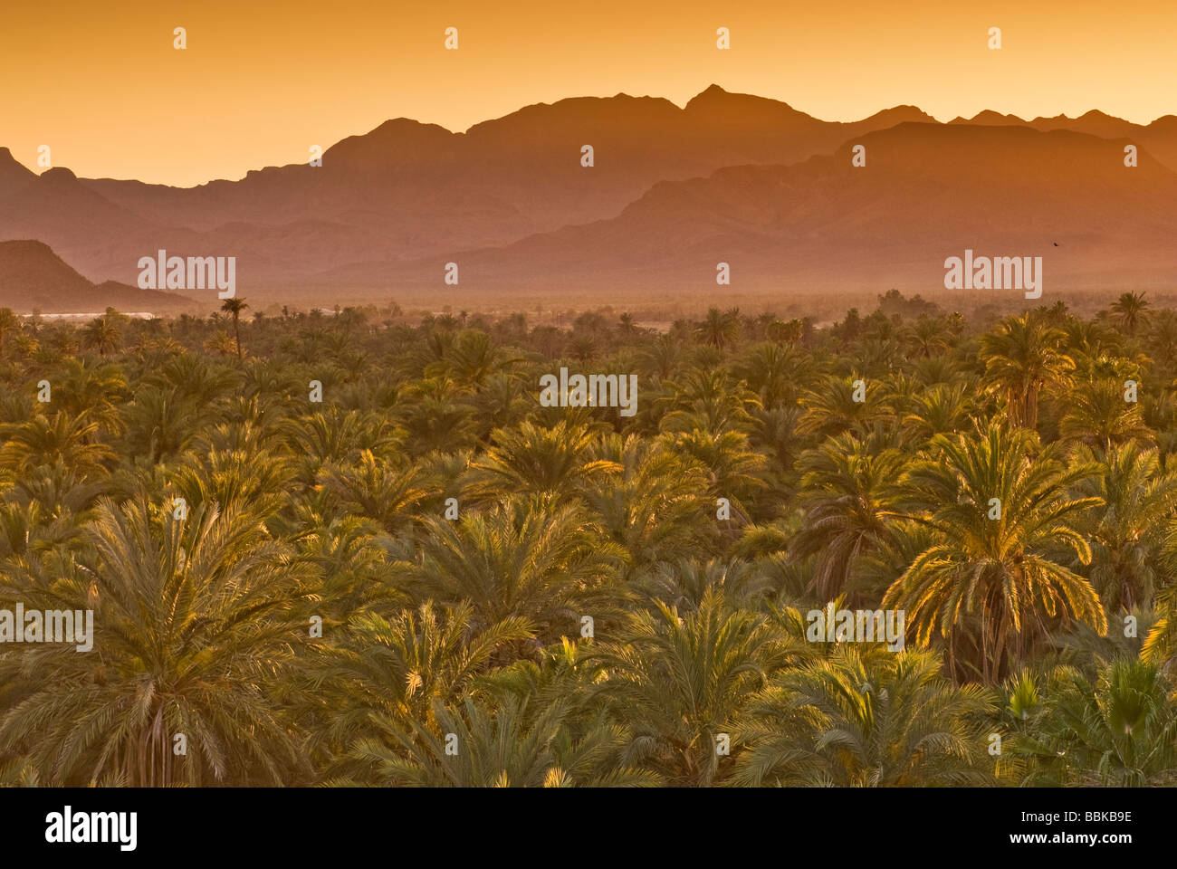 Date palms at sunset Mulege Sierra de Guadalupe in distance Baja California Sur Mexico - Stock Image