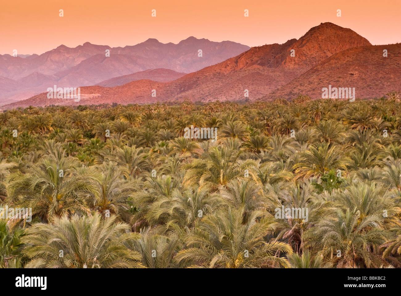 Date palms at sunrise Mulege Sierra de Guadalupe in distance Baja California Sur Mexico - Stock Image