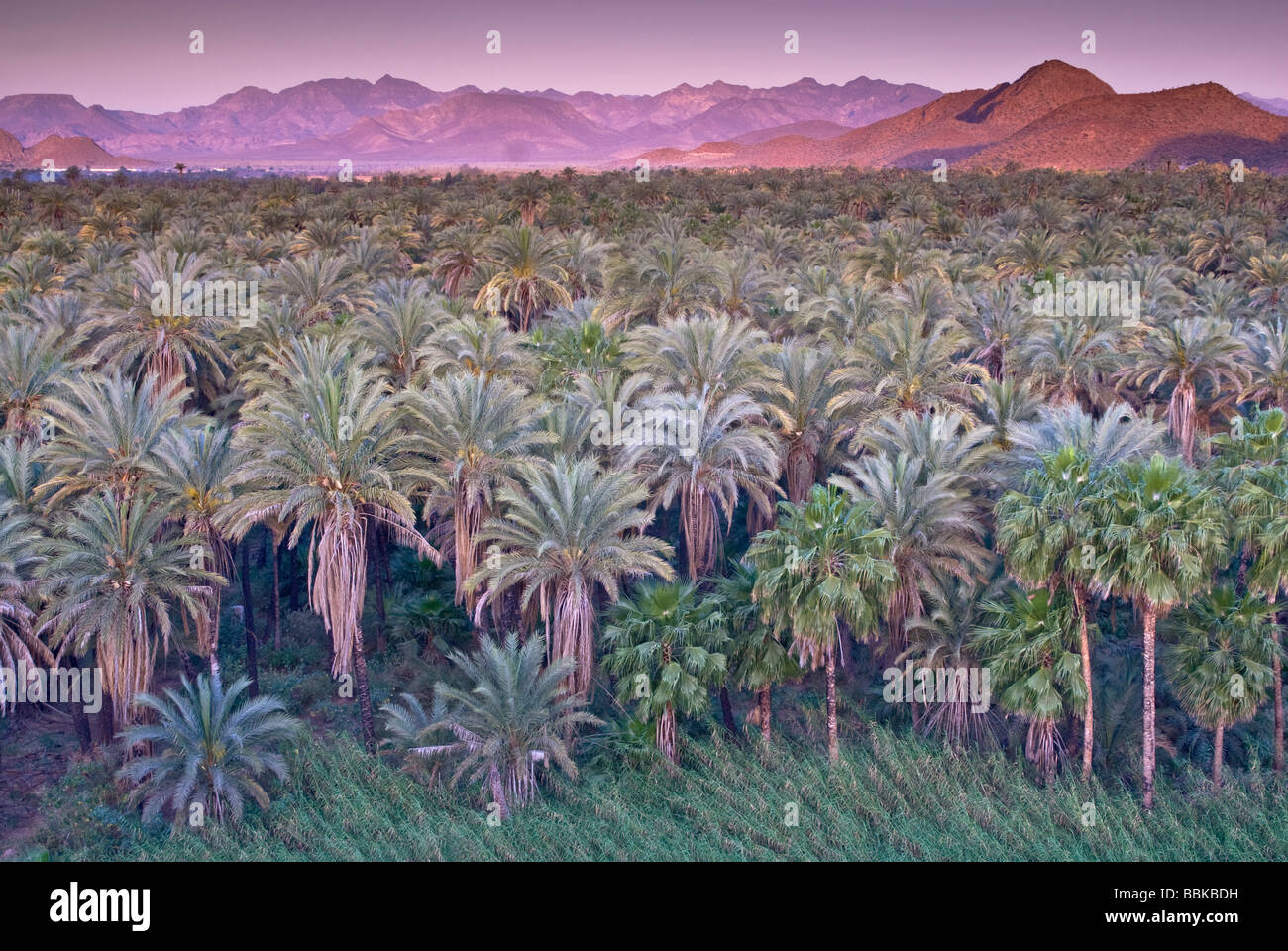 Date and fan palms at sunrise Mulege Sierra de Guadalupe in distance Baja California Sur Mexico - Stock Image