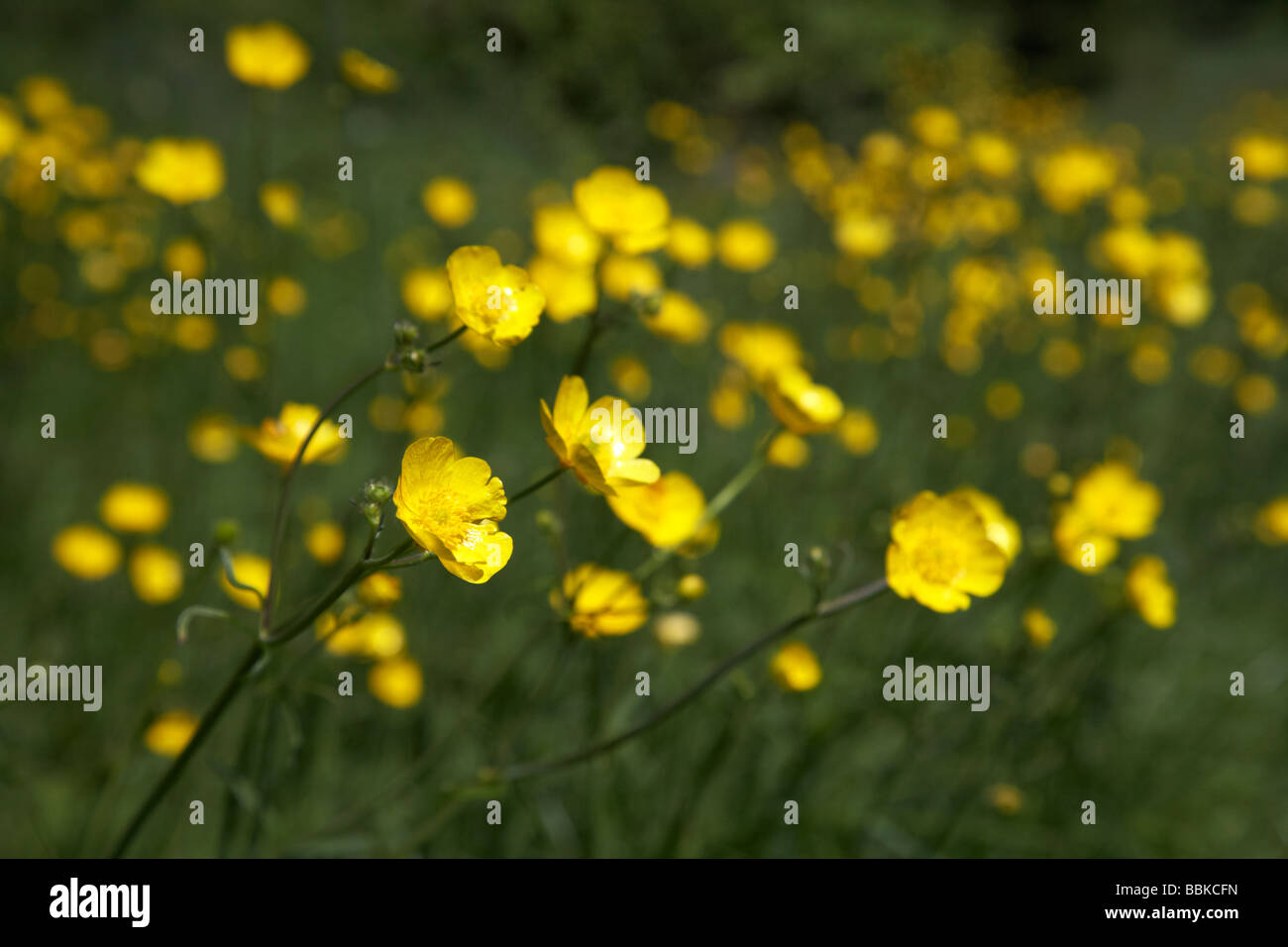Meadow Field Full Of Yellow Flowering Buttercup Flowers Northern