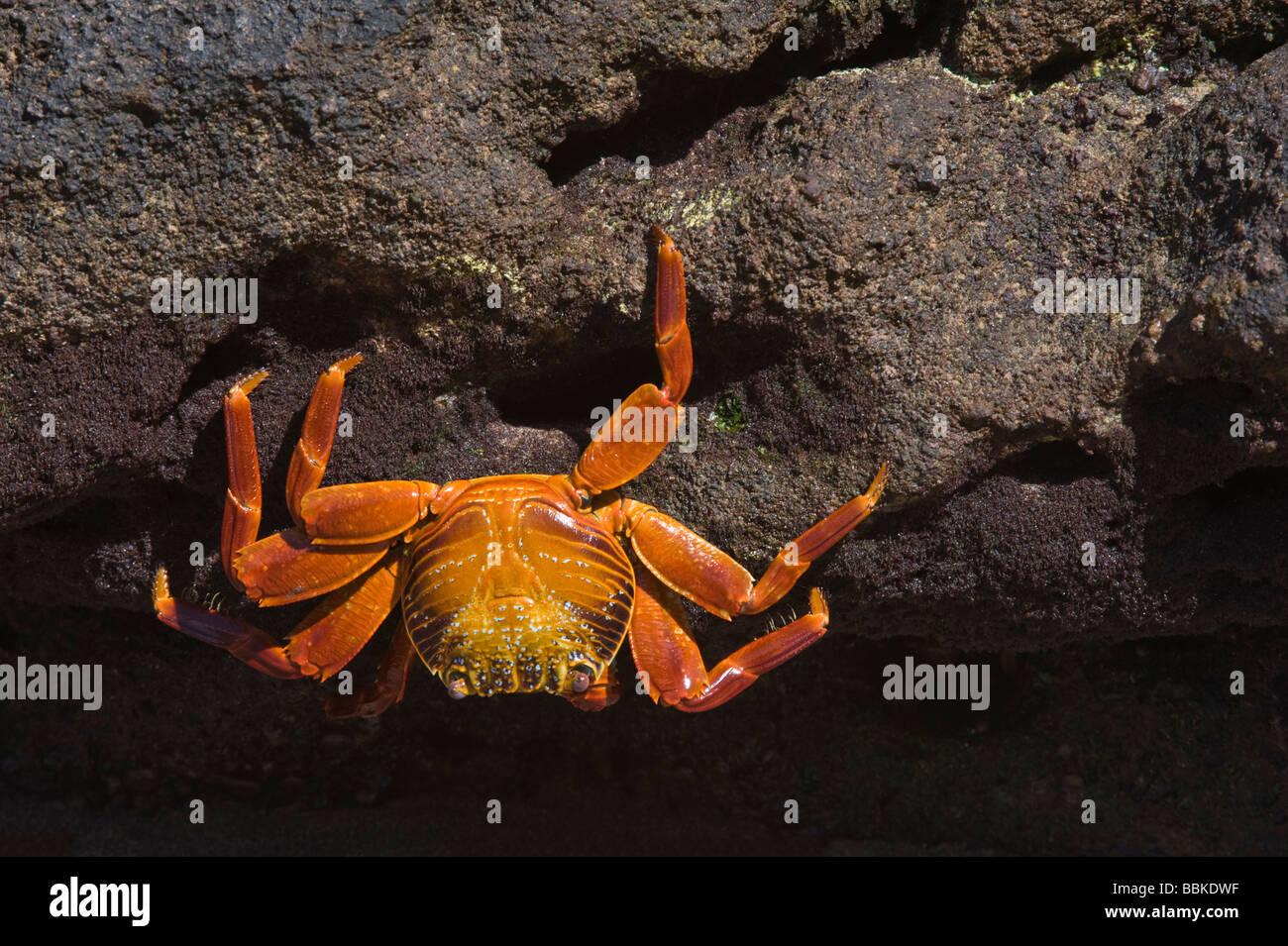 Sally lightfoot crabs (Grapsus grapsus) Flamingo Lagoon Punta Cormoran Cormorant Floreana Galapagos Ecuador Pacific - Stock Image