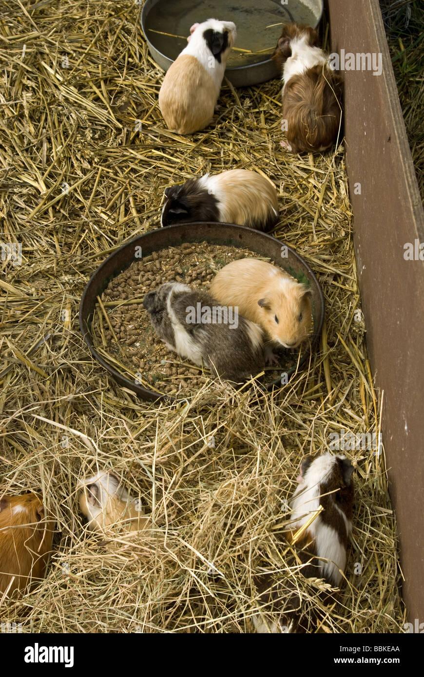 A family of Guinea Pigs enjoy feeding time - Stock Image