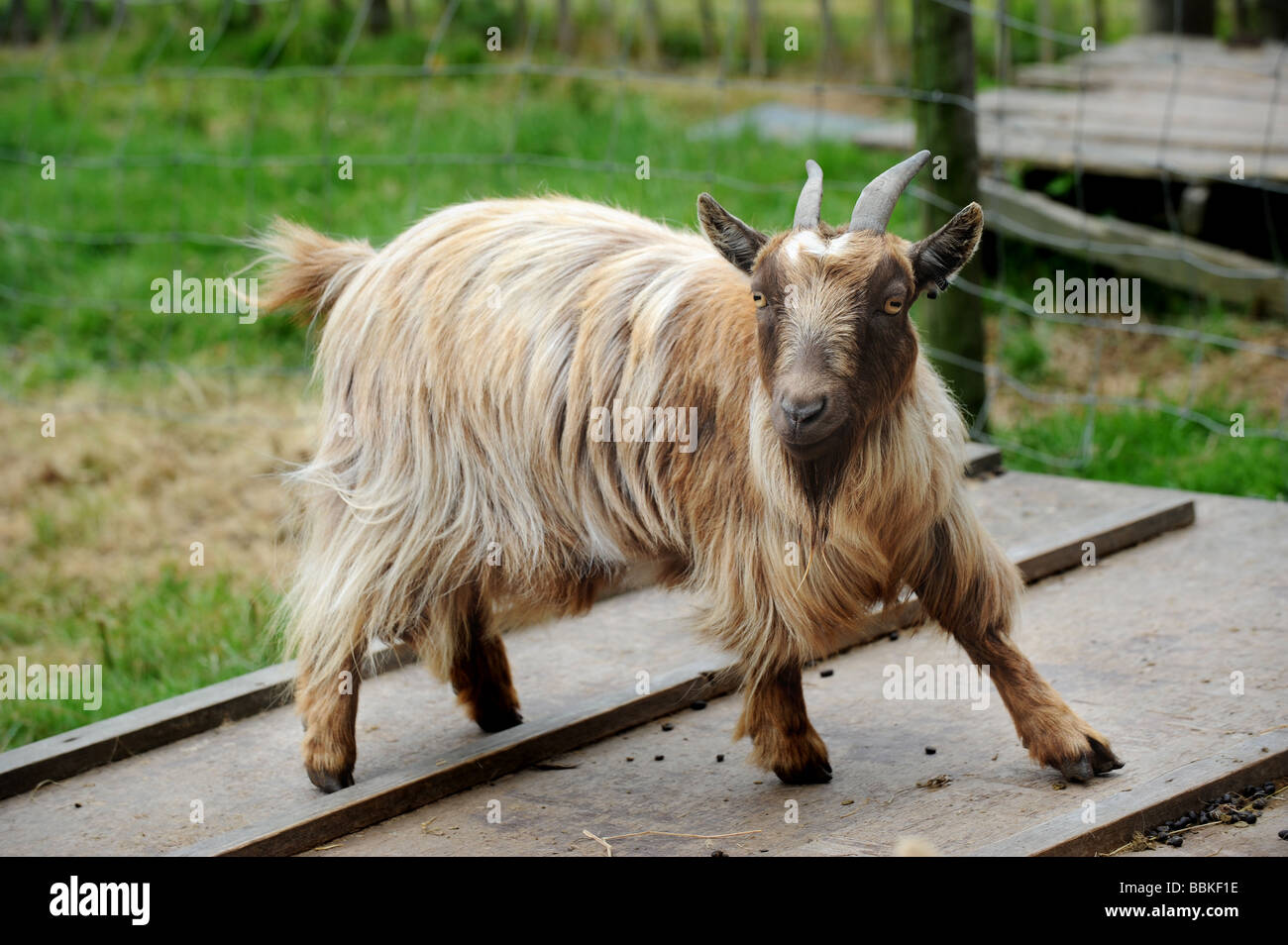 A pygmy goat on a farm in sussex - Stock Image