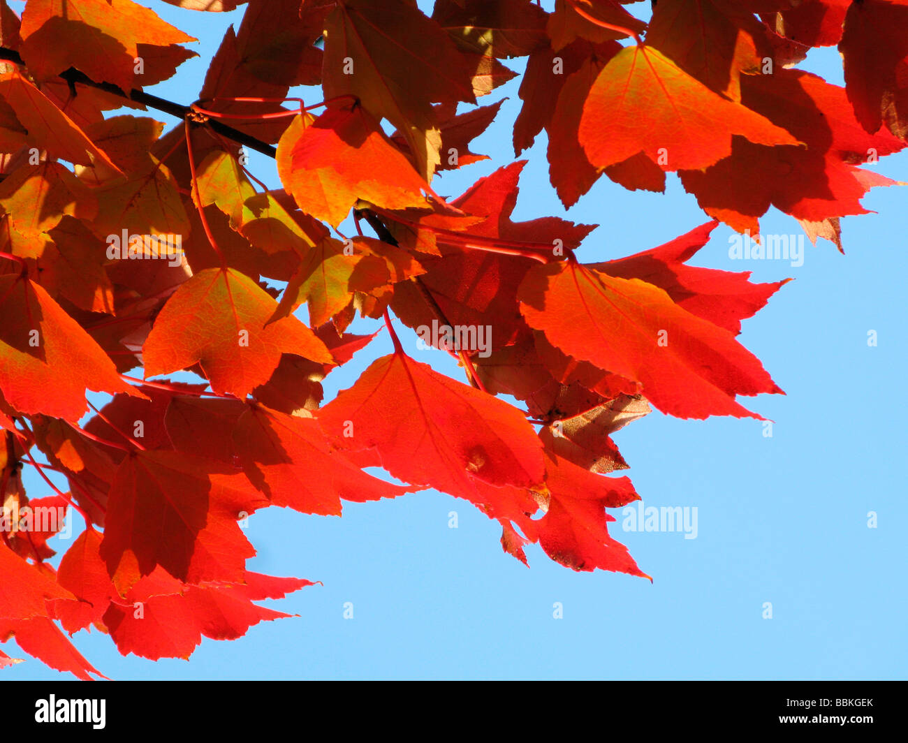 Red leaf - Stock Image