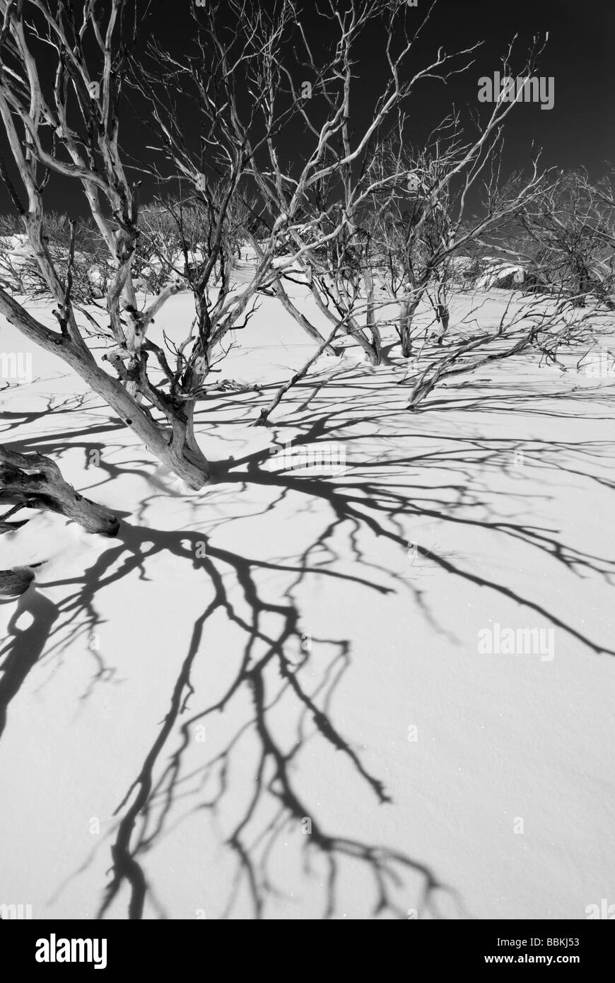 Snow Gums and Shadows - Stock Image