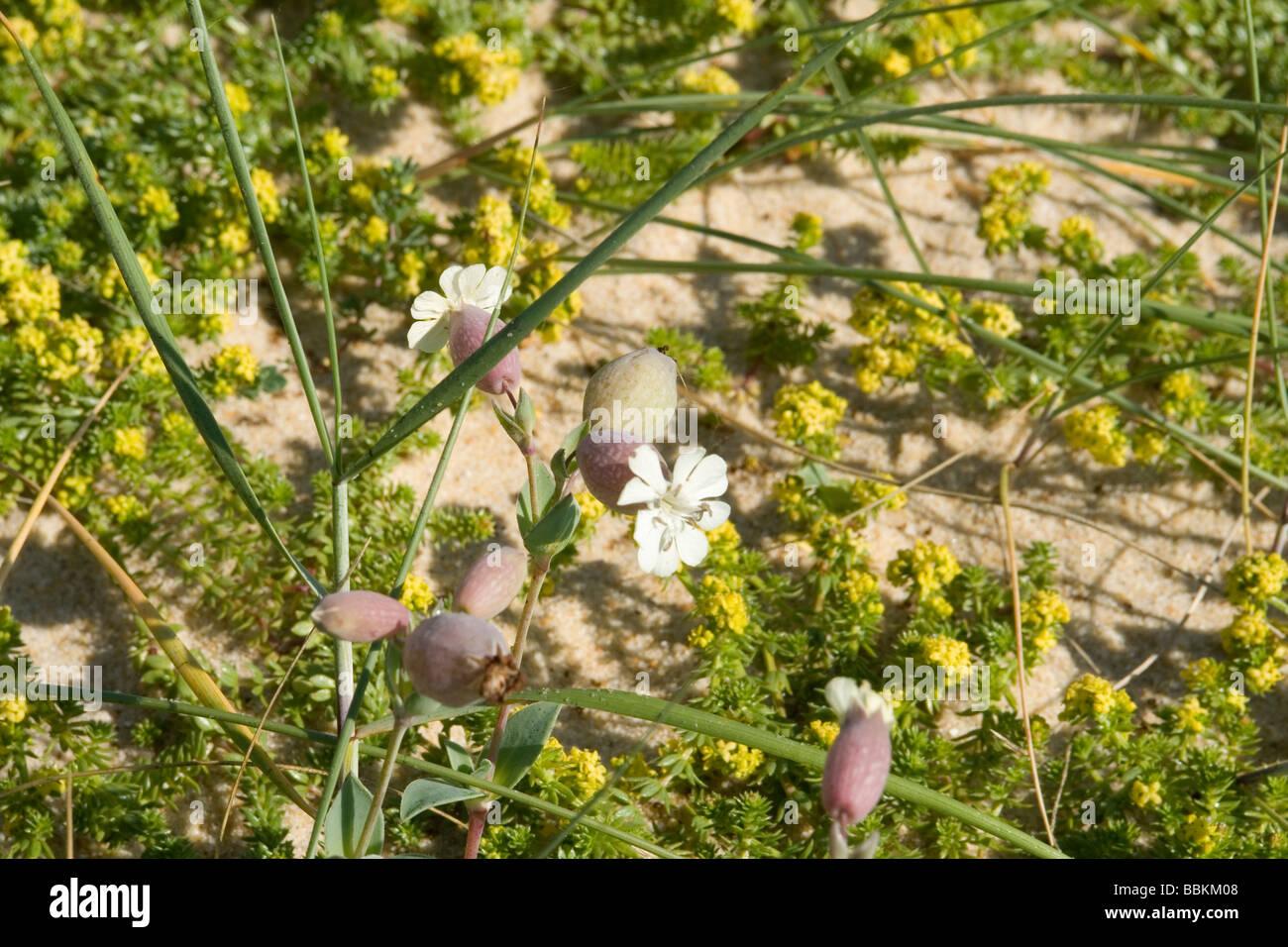 The Bladder Campion on a sand dune, at Hossegor (Landes - France).  Le Silène de Thore sur une dune semi-fixée, - Stock Image