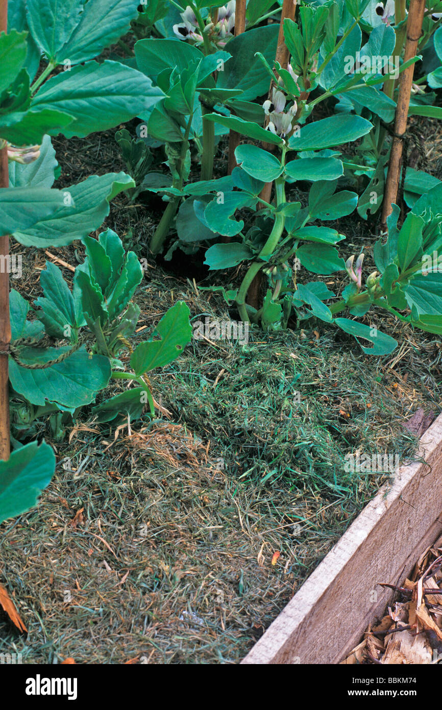 USING GRASS CLIPPINGS AS MULCH ROUND BROAD BEANS - Stock Image