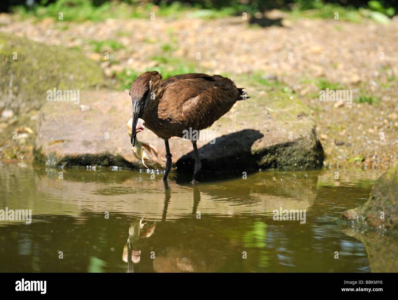Hamerkop (Scopus umbretta). French: Ombrette africaine German: Hammerkopf Spanish: Avemartillo - Stock Image