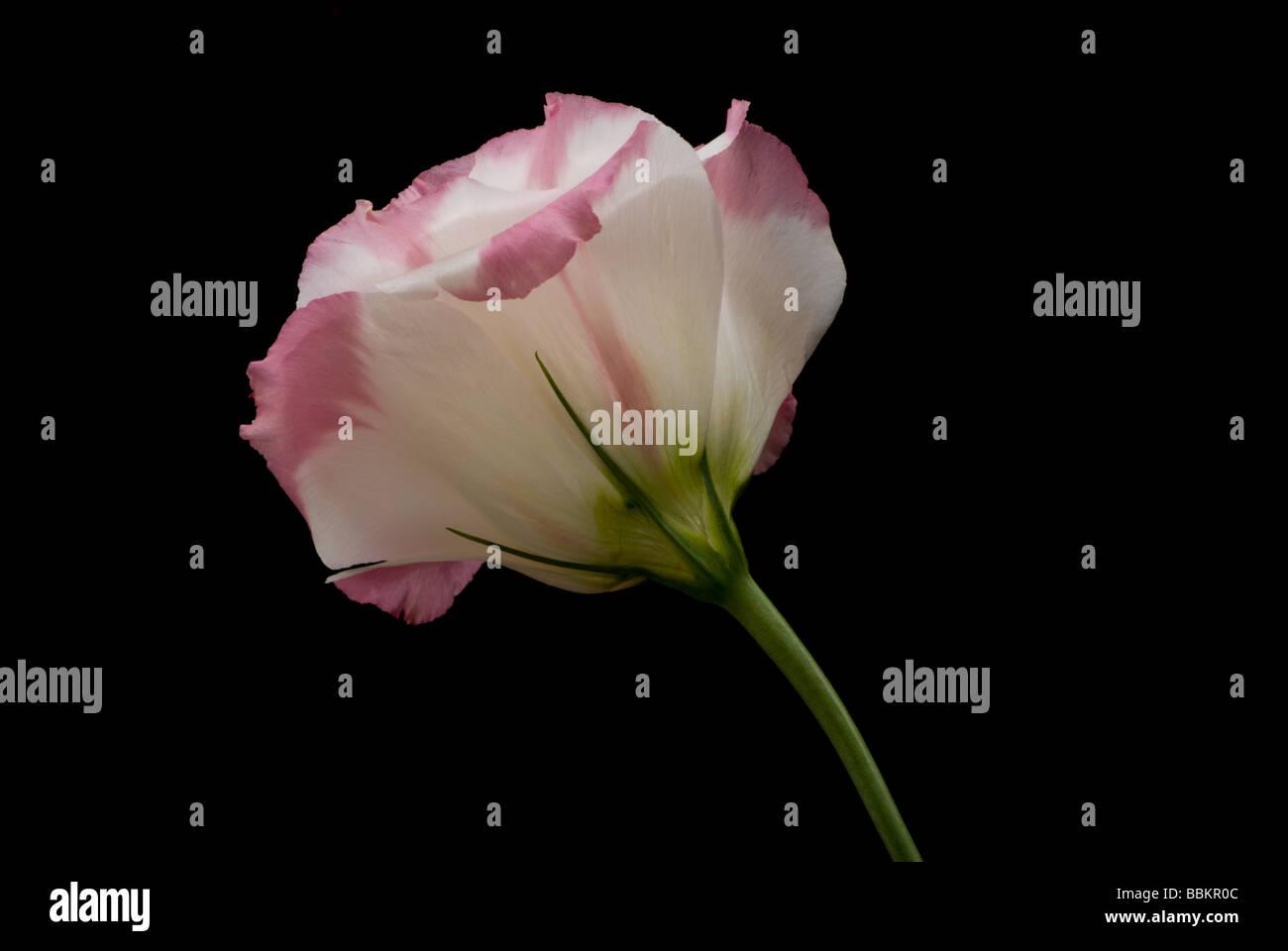 Graceful Lisianthus on Black - Stock Image
