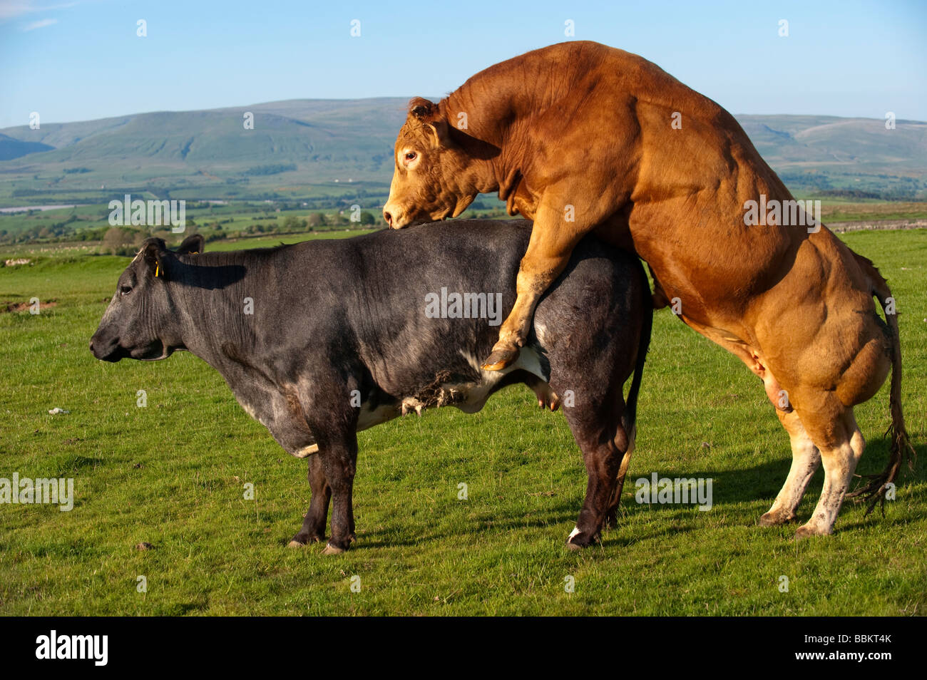 Limousin bull mating with suckler cow which on heat Cumbria  - Stock Image