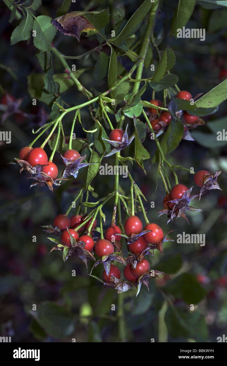 Rose hips of the rose 'Erinnerung an Brod' ;A climber introduced by Geschwind in 1886; - Stock Image