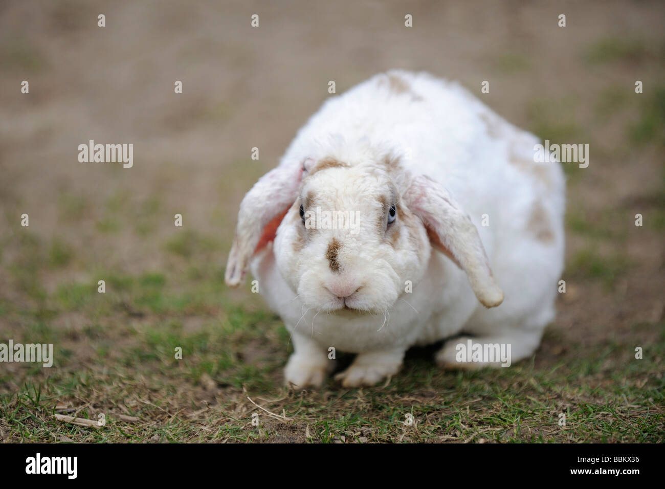 Domestic rabbit with floppy ears sitting on a meadow - Stock Image