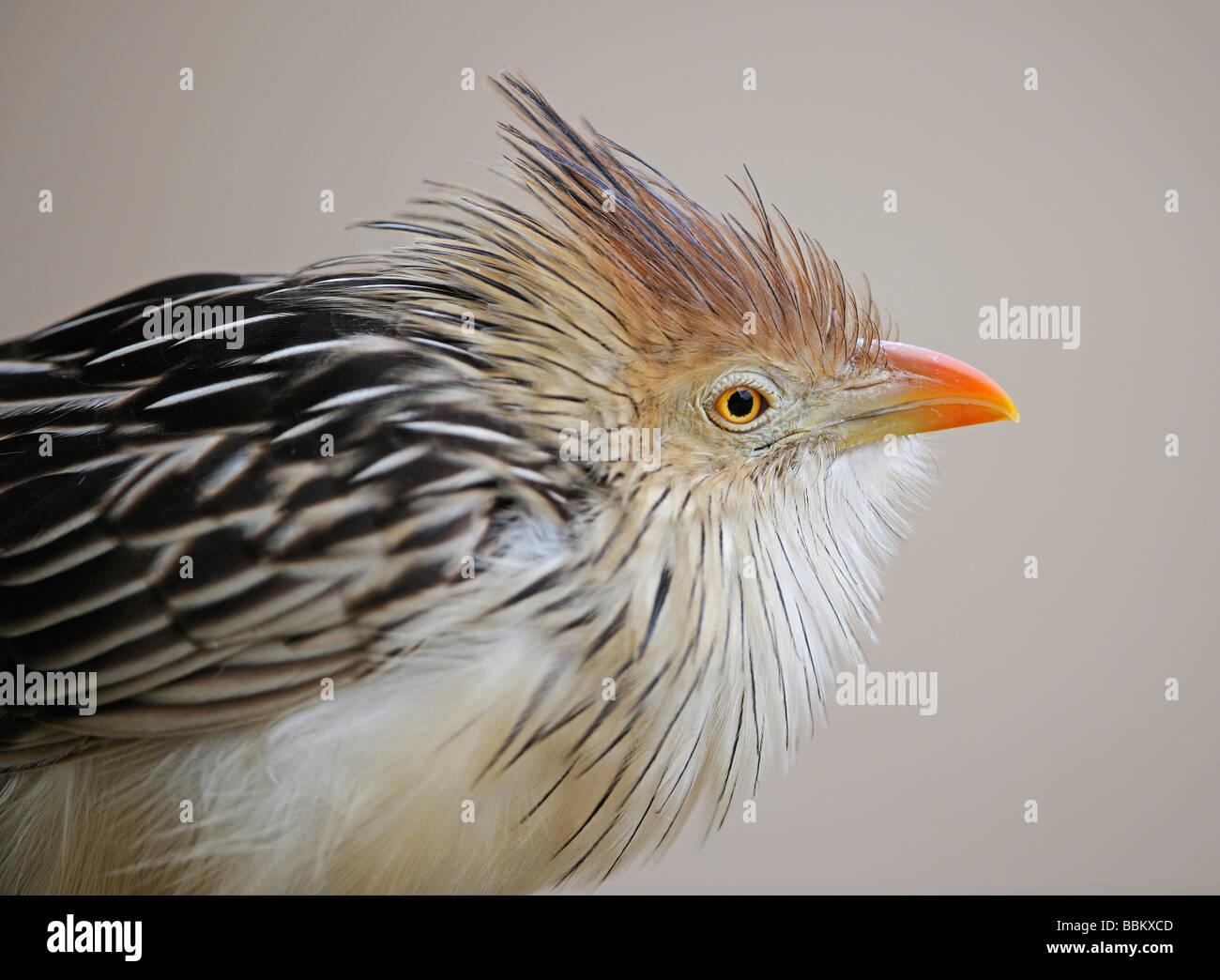 Guira Cuckoo (Guira guira), Brazil - Stock Image