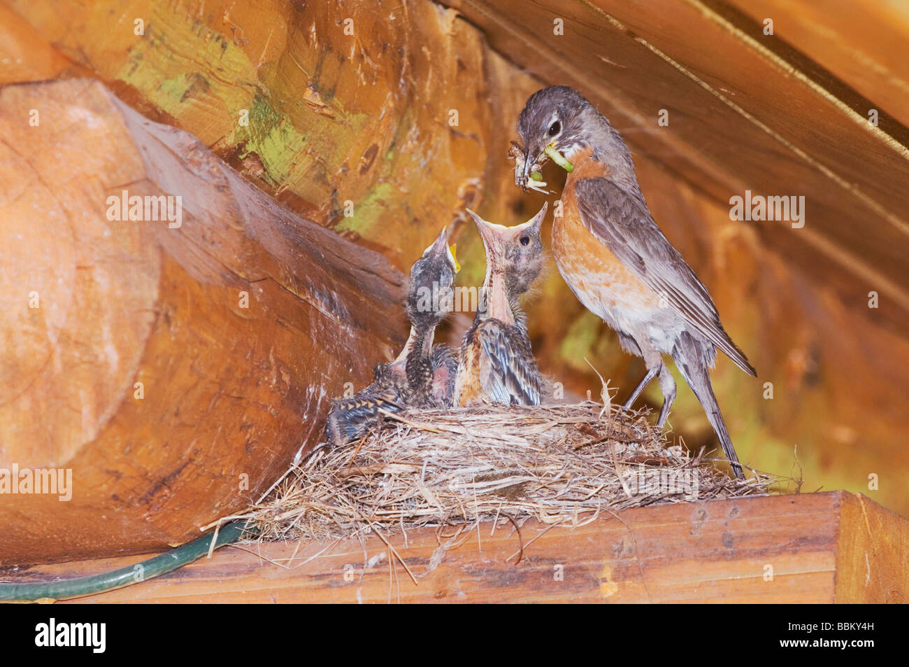 American Robin Turdus migratorius female with young on nest at Log Cabin Glacier National Park Montana USA July - Stock Image