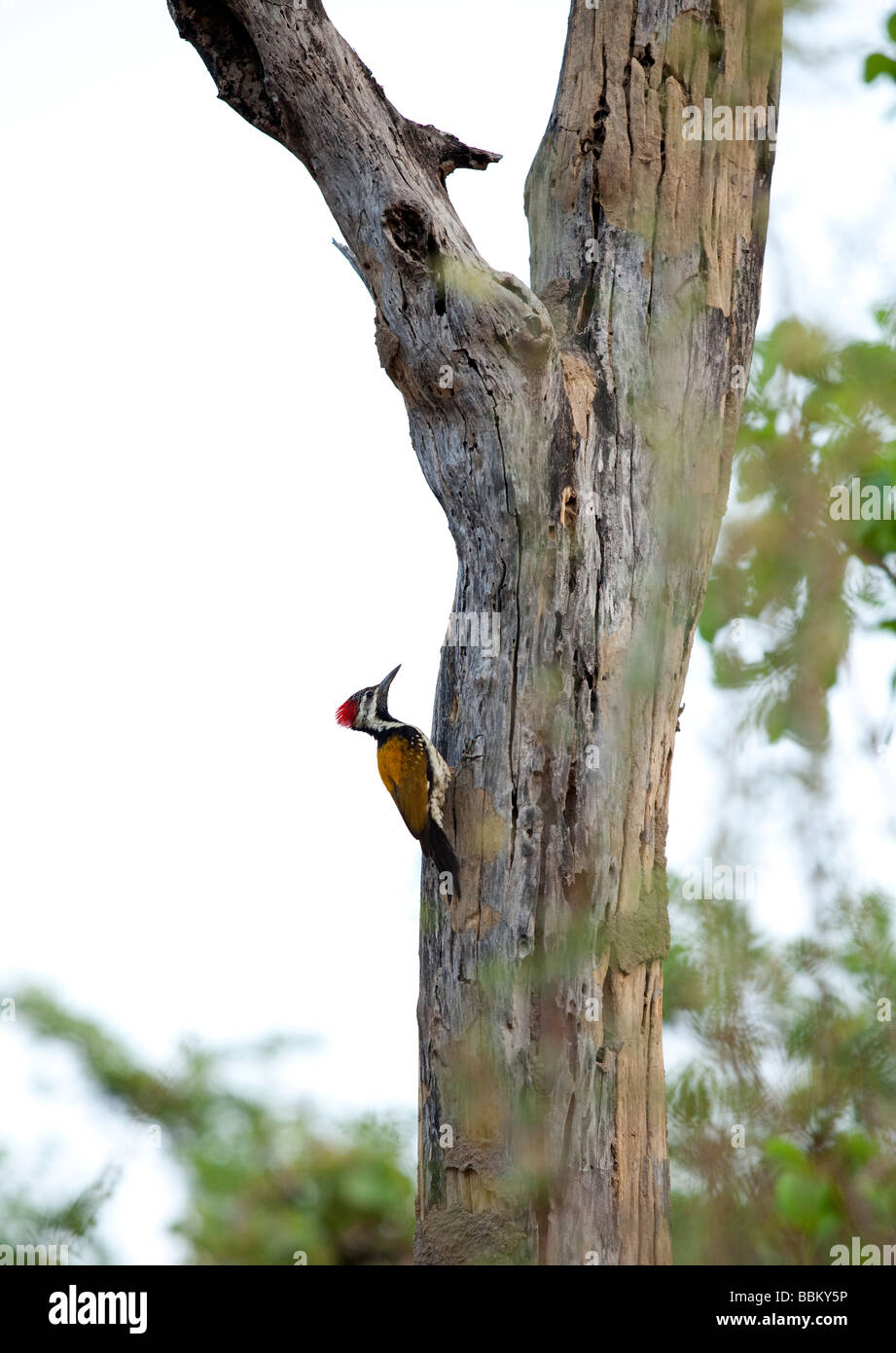 A woodpecker lands on a tree in Bandhavgarh National Park in Madhya Pradesh state, India. - Stock Image