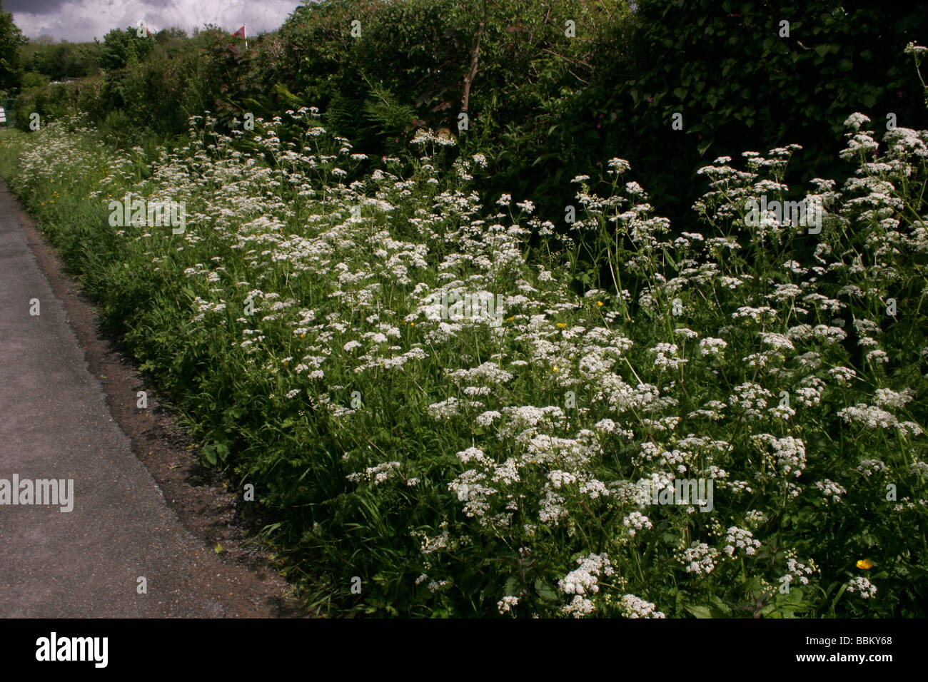Cow Parsley Anthriscus sylvestris Apiaceae UK - Stock Image