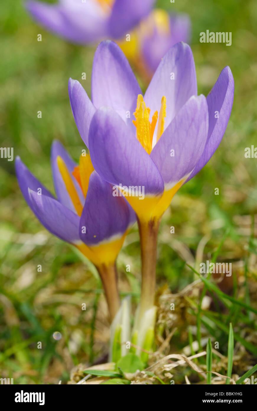 Violet crocus (Crocus sativa), flowers on meadow Stock Photo