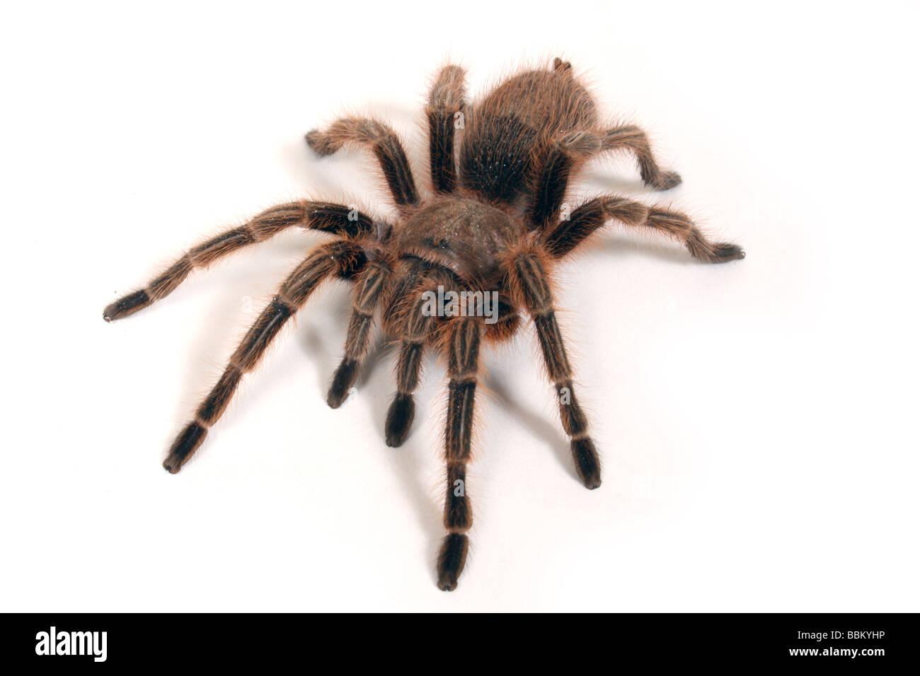 A Chilean Rose Tarantula - Stock Image
