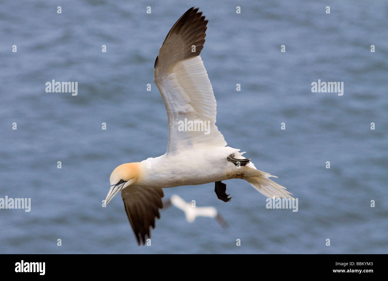 Northern Gannet swooping - Stock Image
