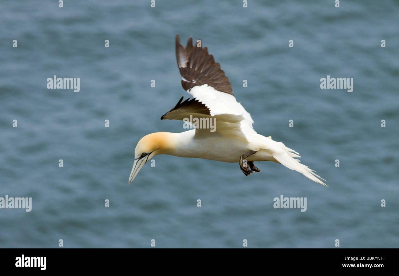 Gannet hovering above nest site - Stock Image