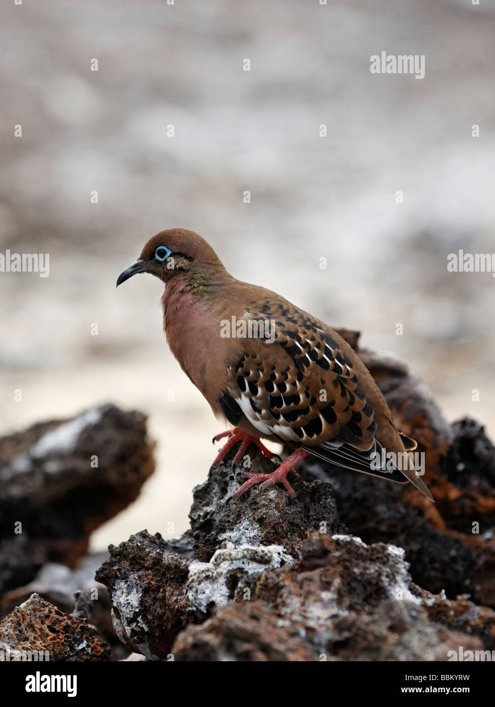 Galápagos dove (Zenaida galapagoensis) with camouflaged coat on a rock, Genovesa Island, Tower Island, Galápagos - Stock Image